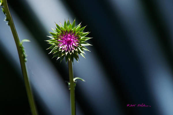 Photograph - Thistle Flowering by Edward Peterson