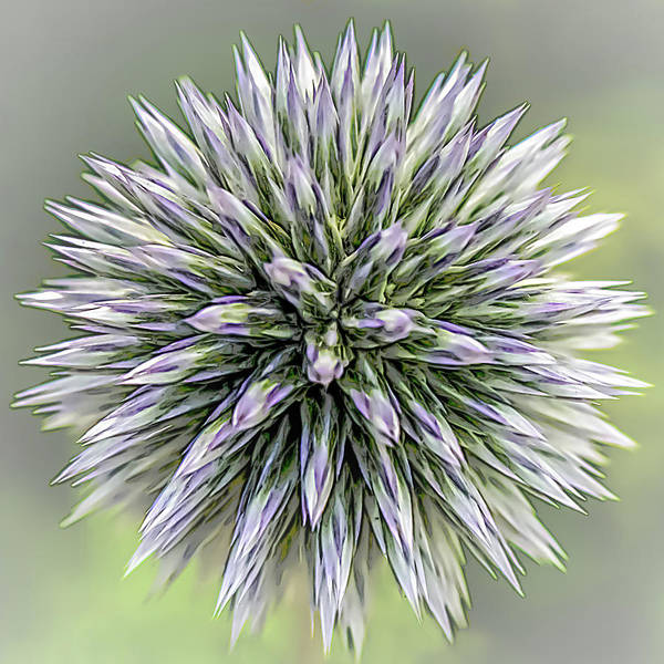 Photograph - Thistle II by Robert Mitchell