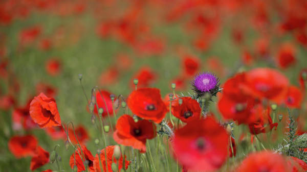 Photograph - Thistle In A Sea Of Red by Peter Walkden