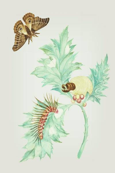 Mixed Media - Thistle Maccaj In America With Caterpillars In All Phases And Butterfly By  Cornelis Markee 1763 by Cornelis Markee