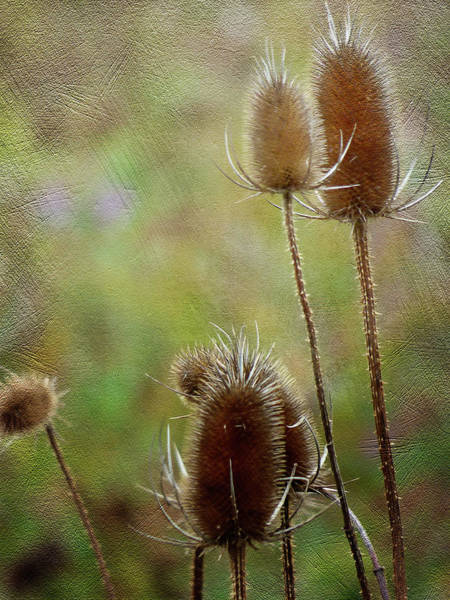 Caprifoliaceae Photograph - Thistle Never Do by Leslie Montgomery