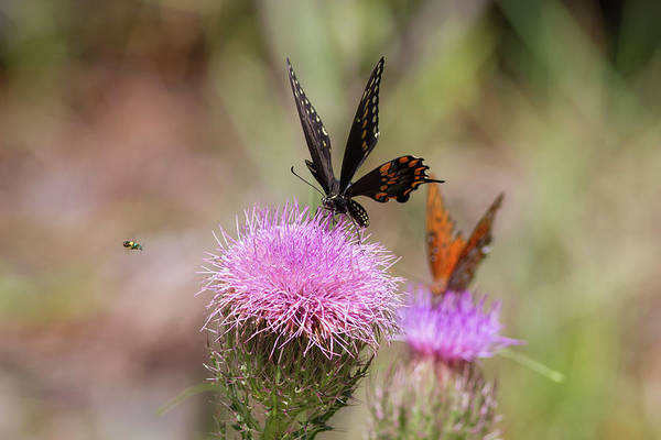 Photograph - Thistle Pollinators - Large And Small by Paul Rebmann