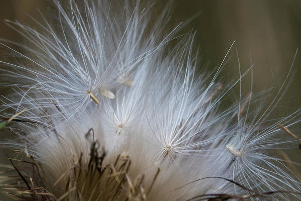 Photograph - Thistle Seed by Robert Potts