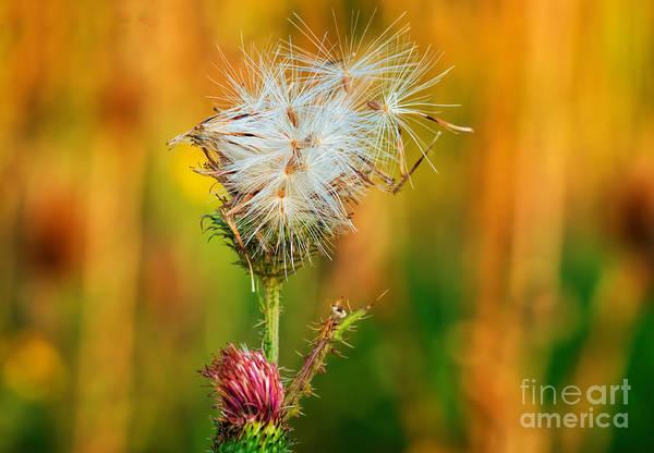 Photograph - Thistle Seeds by Les Palenik