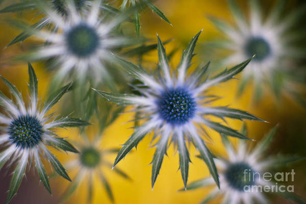Thistle Photograph - Thistle Stars by Mike Reid