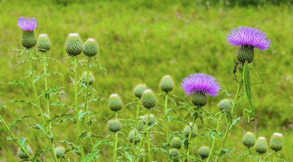 Photograph - Thistles And Preying Mantis by Edward Peterson