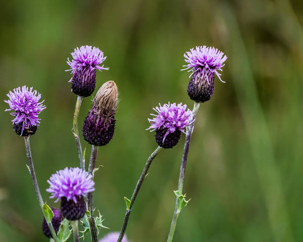 Photograph - Thistles by Chris Coffee