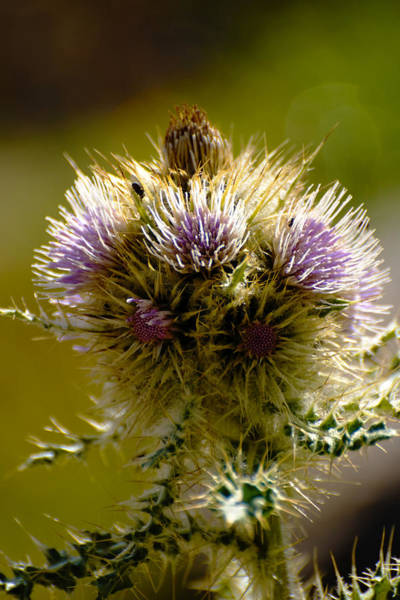 Photograph - Thistles by Richard Henne
