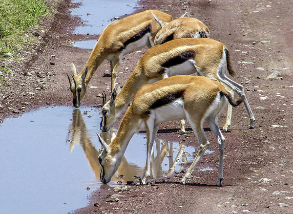 Wall Art - Photograph - Thomson's Gazelles by Andrew Wilson