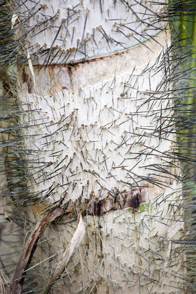 Thorn Tree Art Print