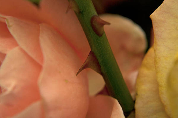 Photograph - Thorns by M Valeriano