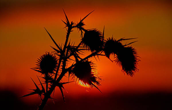Photograph - Thorns by Phil Koch