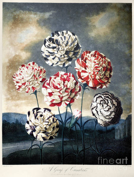 Photograph - Thornton: Carnations by Granger