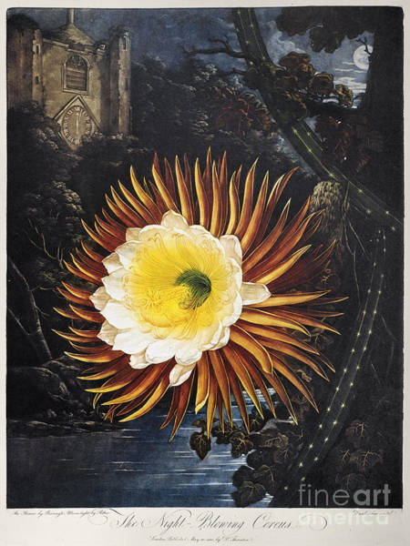 Photograph - Thornton: Cereus by Granger