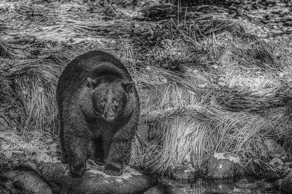 Photograph - Thornton Creek Black Bear by Roxy Hurtubise