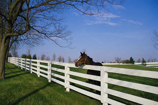Horse Farm Photograph - Thoroughbred Horse Lexington Ky by Panoramic Images