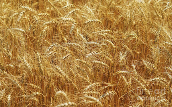 Photograph - Those Beautiful Waves Of Grain by Rachel Cohen