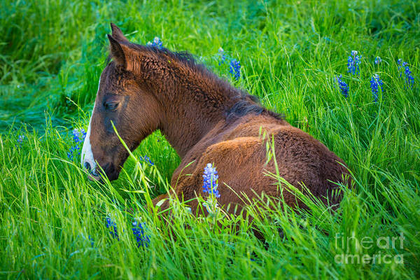 Foal Photograph - Thoughtful Foal by Inge Johnsson