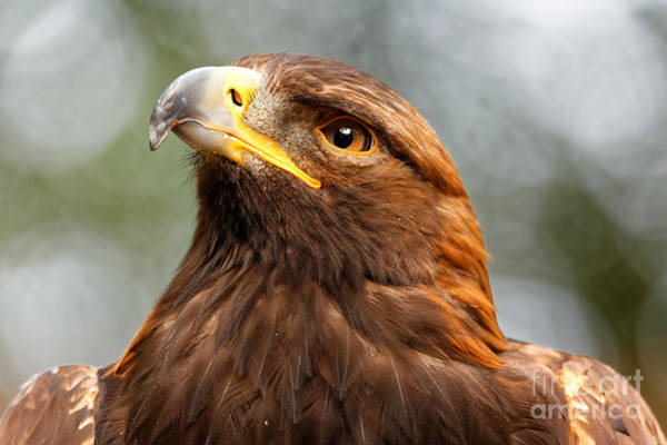 Photograph - Thoughtful Golden Eagle by Sue Harper