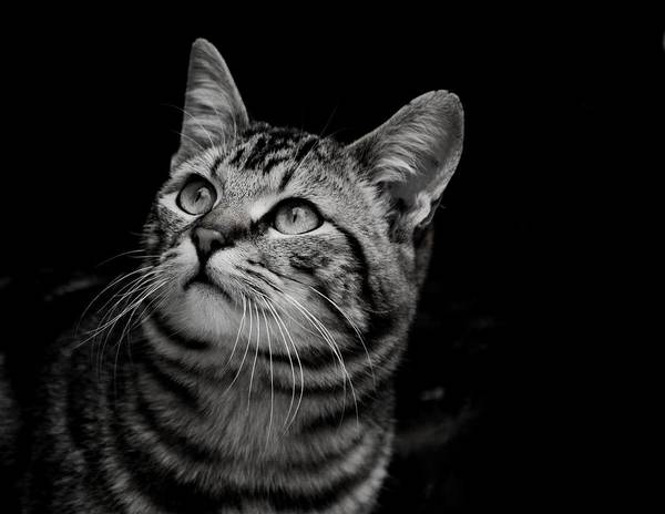 Photograph - Thoughtful Tabby by Chriss Pagani