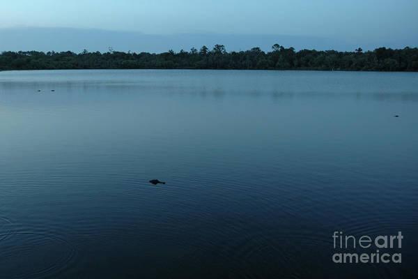 Photograph - Three Alligators by Kathi Shotwell
