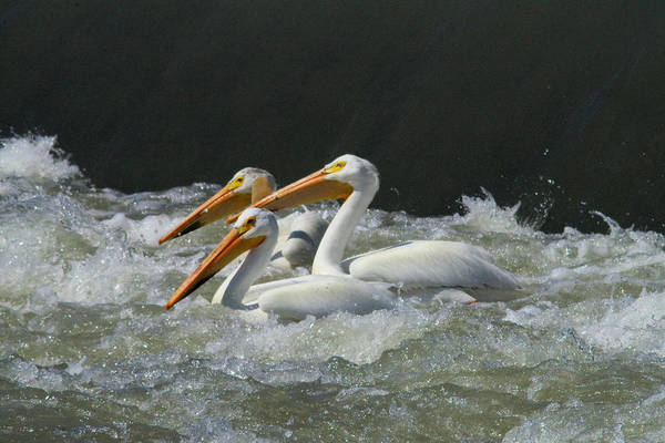 Living Things Photograph - Three American Pelicans by Jeff Swan