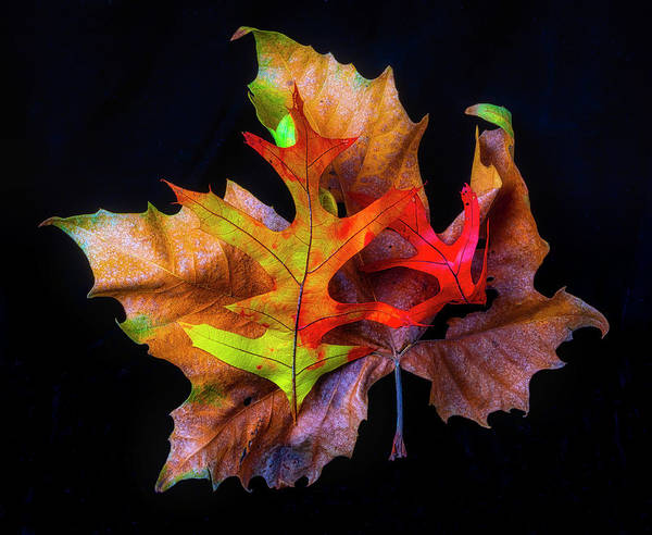 Wall Art - Photograph - Three Autumn Leaves by Garry Gay