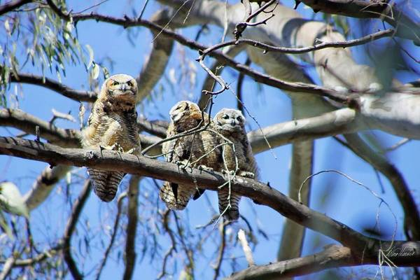 Photograph - Three Baby Owls by Diana Haronis