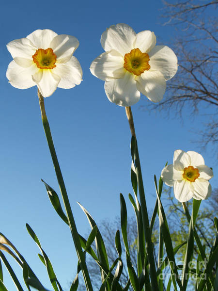Wall Art - Photograph - Three Backlit Jonquils From Below by Anna Lisa Yoder