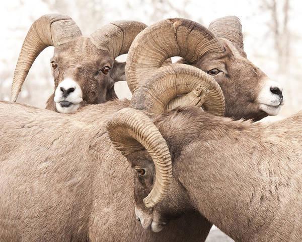 Three Bighorn Rams Art Print