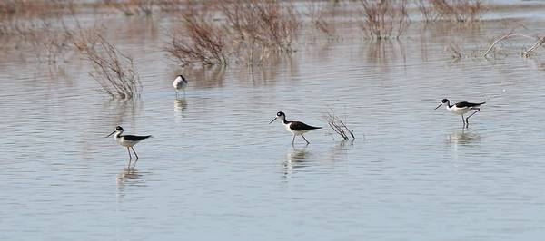 Photograph - Three Black-necked Stilts  by Christy Pooschke