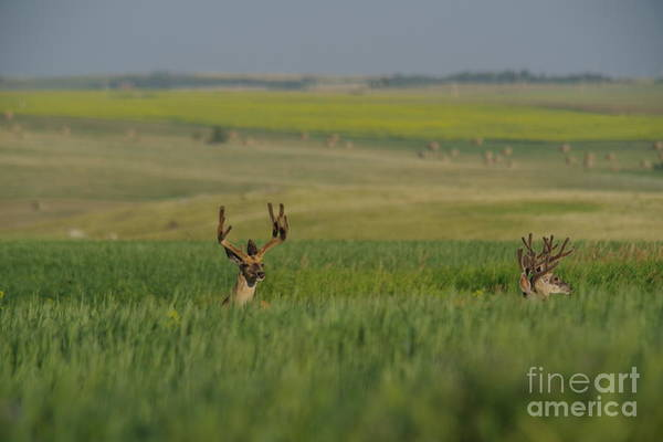 Wall Art - Photograph - Three Bucks by Jeff Swan