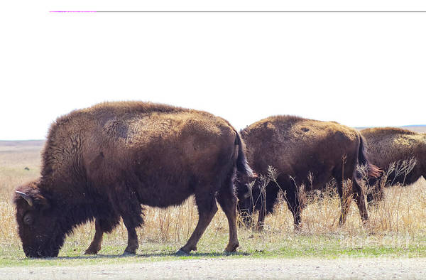 Photograph - Three Buffalo Grazing Beside The Road In Tall Grass Pairie Swishing Their Tails by Susan Vineyard