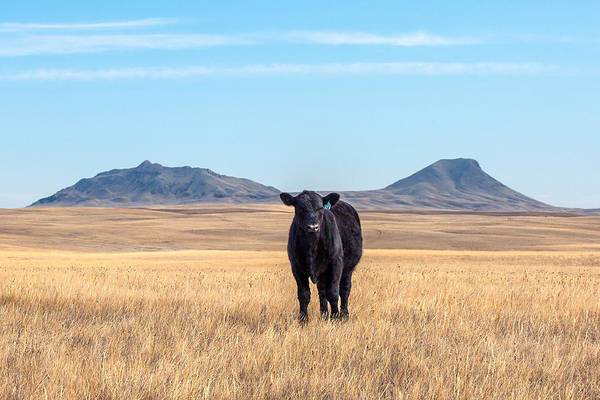 Steer Photograph - Three Buttes Steer by Todd Klassy