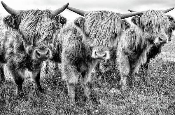 Wall Art - Photograph - Three Calves by Janet Burdon
