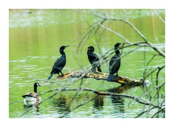 Photograph - Three Cormorants by Edward Peterson