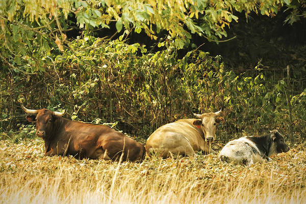 Photograph - Three Cows At Rest by Belinda Greb