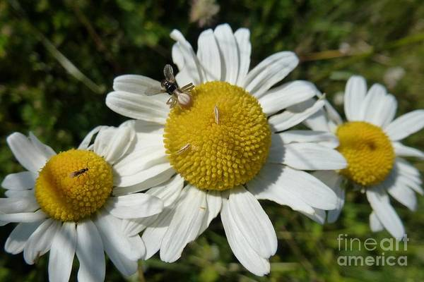 Photograph - Three Daisies by Jean Bernard Roussilhe