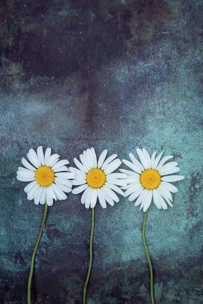 Photograph - Three Daisies by Maria Heyens