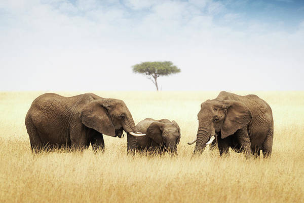 Nature Conservancy Photograph - Three Elephant In Tall Grass In Africa by Susan Schmitz
