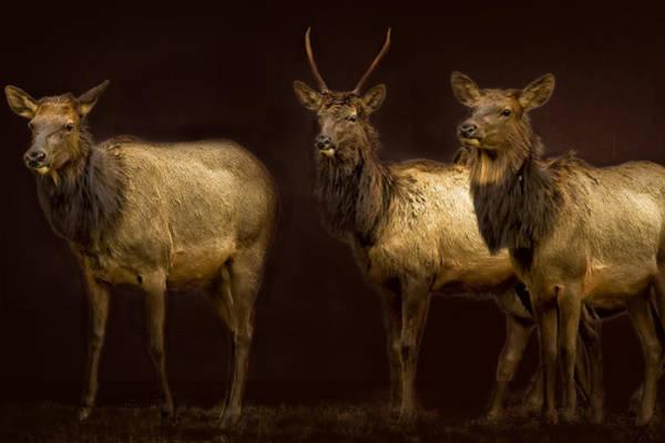 Photograph - Three Elk by Belinda Greb