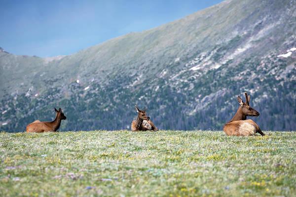 Wall Art - Photograph - Three Elks by Catherine Lau