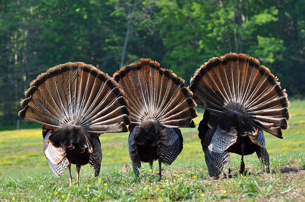 Turkey Feather Wall Art - Photograph - Three Fans by Todd Hostetter