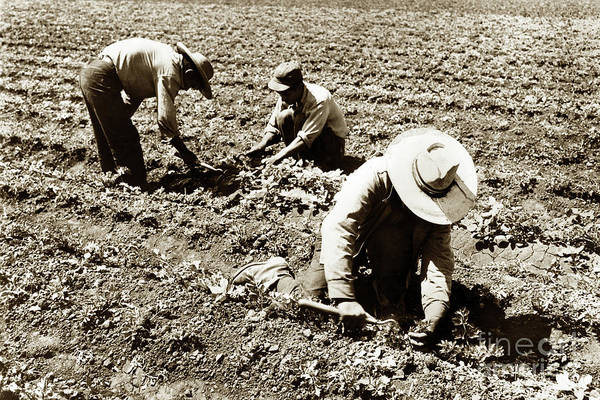 Photograph - Three Filed Workers Using Short Handled Hoe  by California Views Archives Mr Pat Hathaway Archives