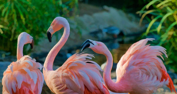 Photograph - Three Flamingos by Ginger Wakem