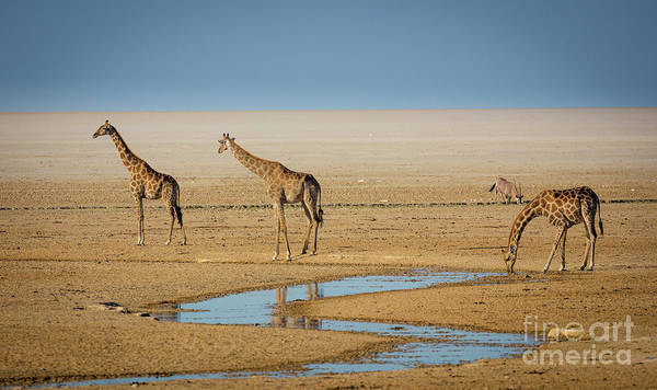 Wildlife Sanctuary Photograph - Three Giraffes by Inge Johnsson