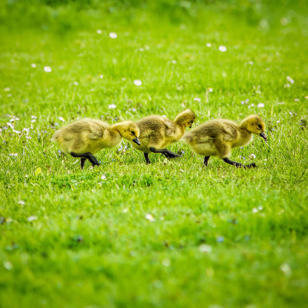 Photograph - Three Goslings by Chris Bordeleau