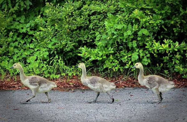 Photograph - Three Goslings by Cynthia Guinn
