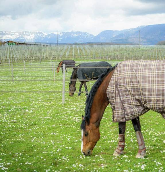 Photograph - Three Horses by Alexandre Rotenberg