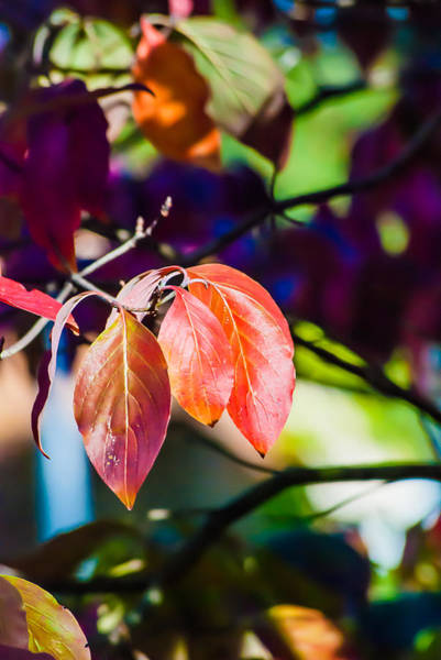 Photograph - Three Leaves - 9583 by G L Sarti